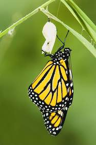 butterfly is holding on its cocoon