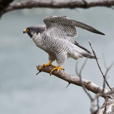 a peregrin falcon is clinging on its branch