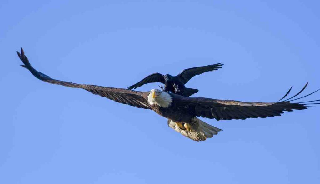 crow leaning on the back of an eagle