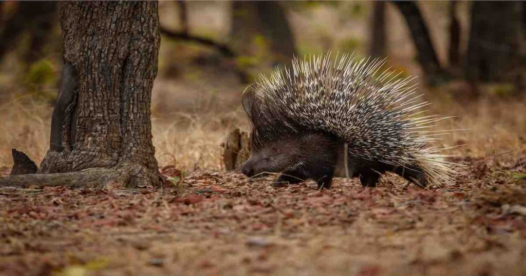 porcupine in the forest