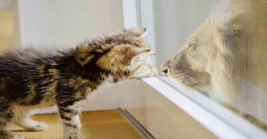 kitten reflecting in the window like a lion